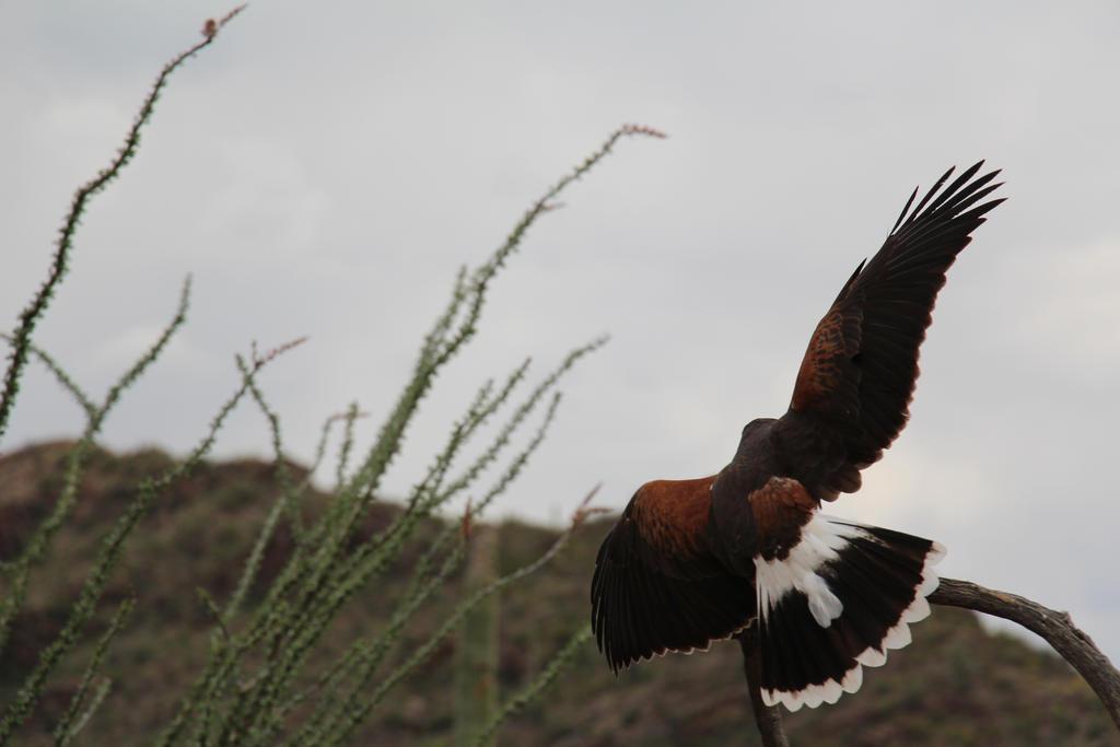 Harris' Hawk 1 by Gabbycon