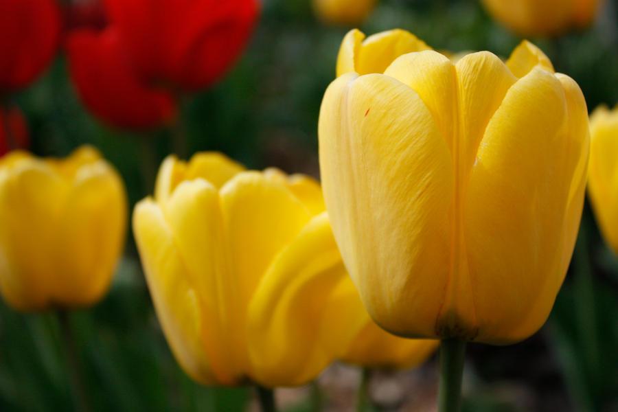 Tulips wallpaper > Tulips Papel de parede > Tulips Fondos