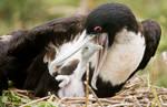 Frigate Chick Feeding