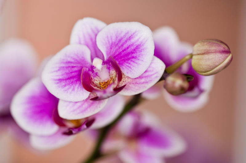 Pink Orchid 1 by AaronPlotkinPhoto