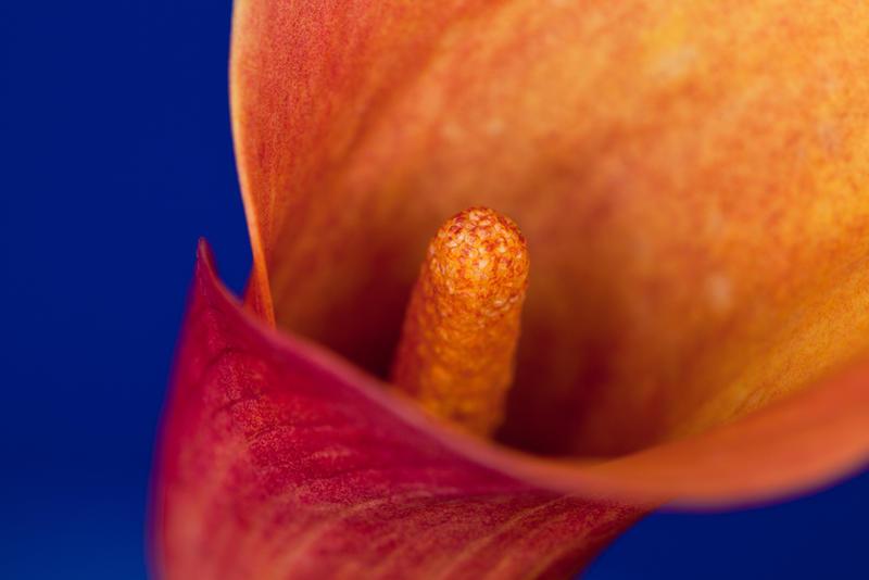 Orange Flower Macro 1