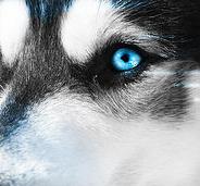 Husky of Change