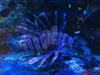Lionfish on Display