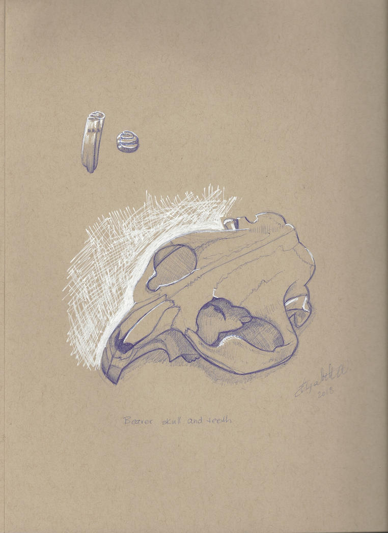 Beaver skull - ballpoint pen by herbwalker on DeviantArt