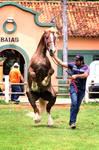 Nacional Cavalo Bretao 2015