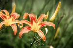 Orange flower by CC-PhotoArt