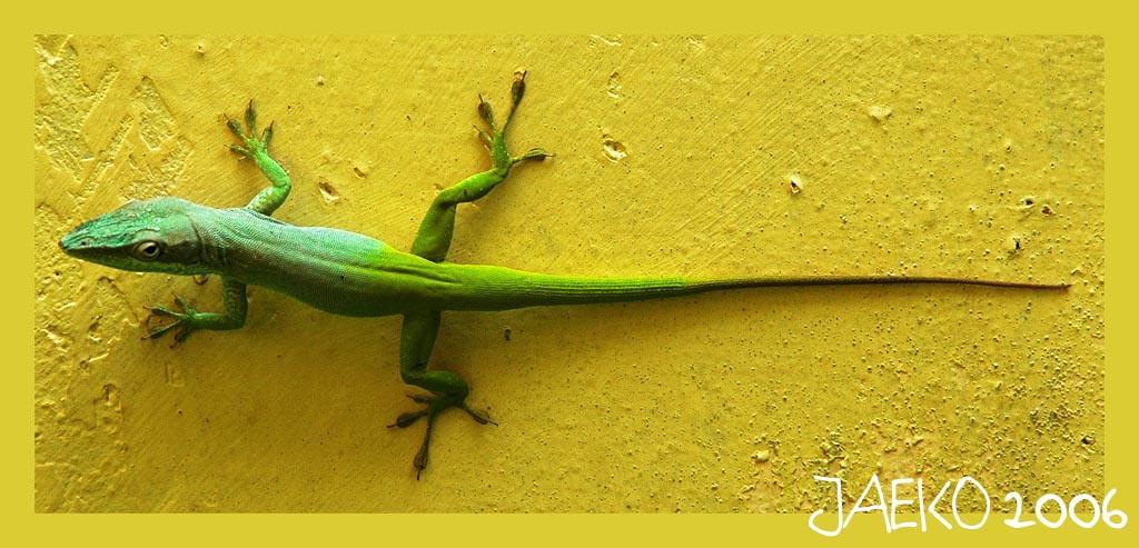 lizard by jaeko