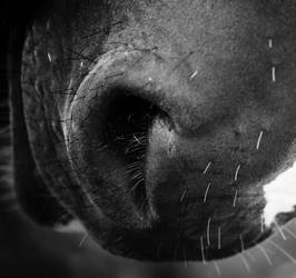 nose of a horse