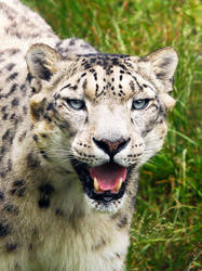 Snowleopard by PiaBobacka