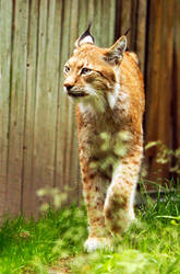 Eurasian Lynx by PiaBobacka