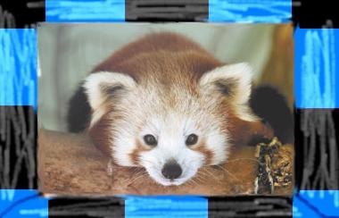 Red Panda checkers by xo-SingnDance-ox