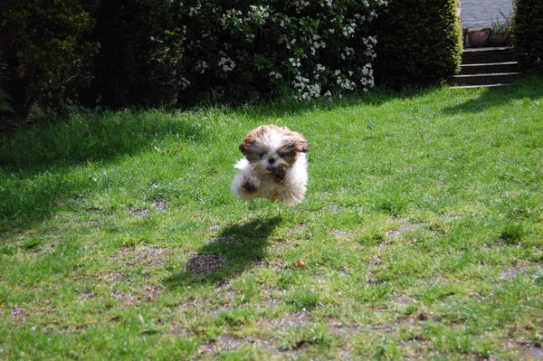 Floating Shih Tzu By ConverseRoses ...