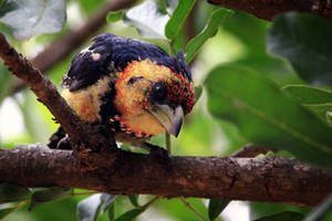 Crested Barbet by MarianGutu