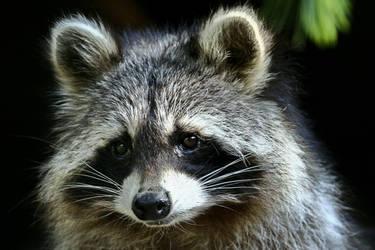 Raccoon by MarianGutu