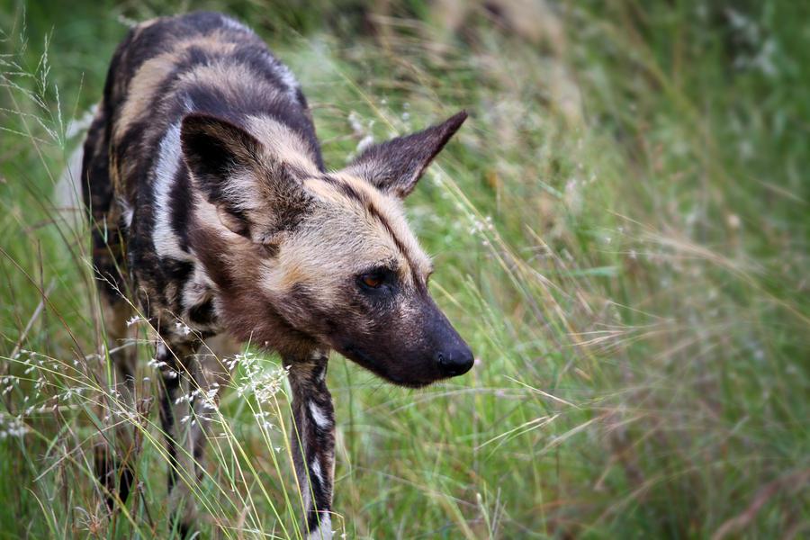 African Wild Dog by MarianGutu