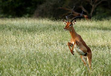 Impala buck by MarianGutu