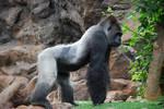 STOCK gorila 05
