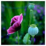 Oriental Poppies by humminggirl