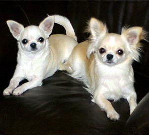 Two Sides of Chihuahuas by queenofdogs