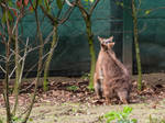 fighting Kangaroo 2