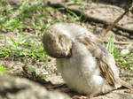 young Sparrow 3