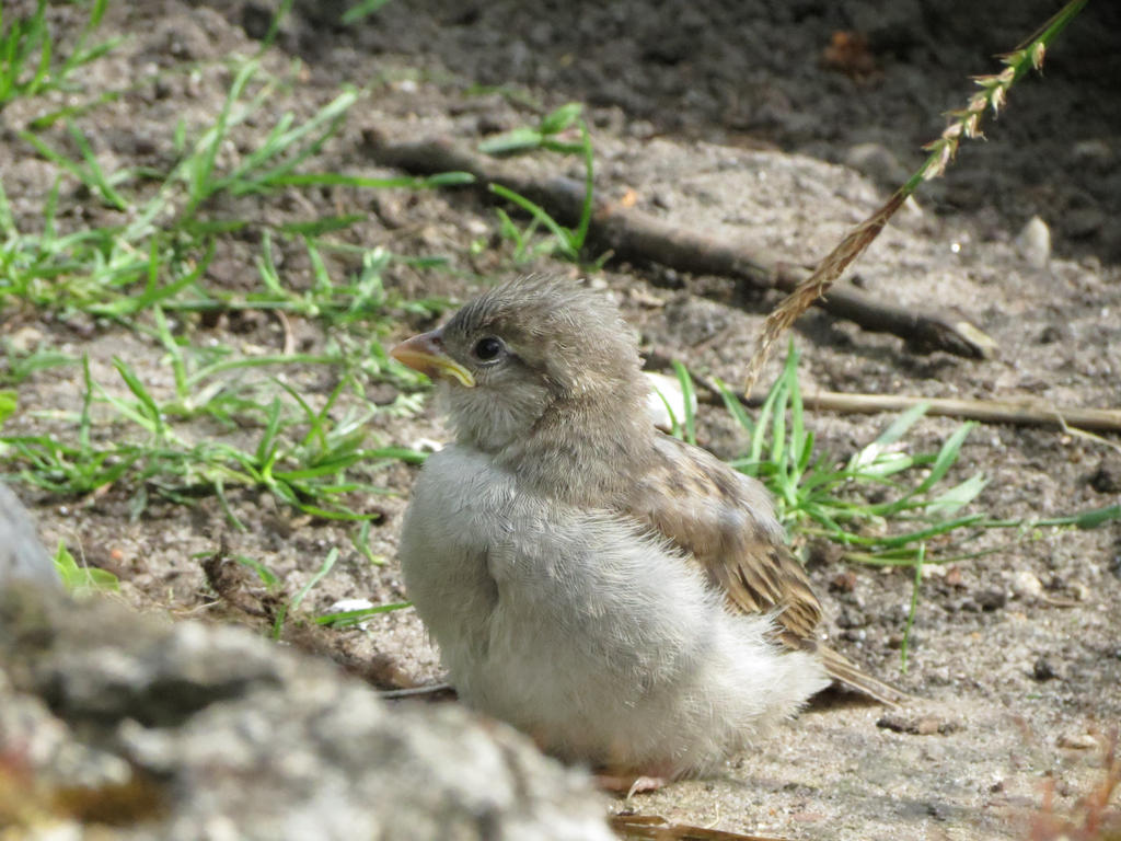 young Sparrow 6 by mrscats