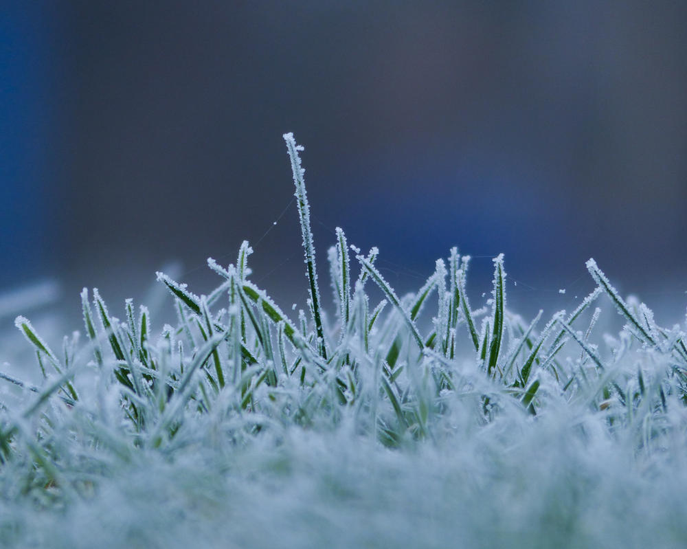 Grass with hoarfrost 1 by mrscats