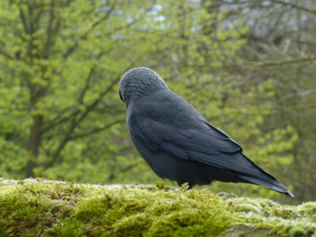 Jackdaw 9 by mrscats