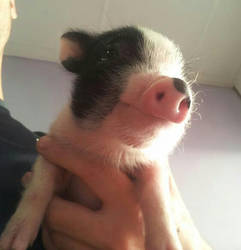 Little pig baby