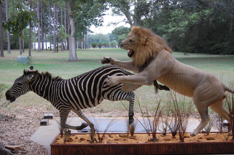 zebras and lions - photo #31