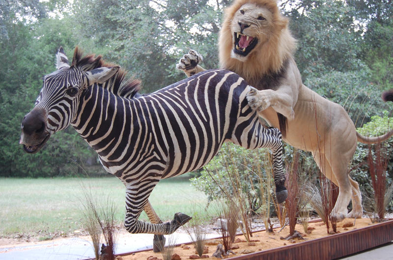 zebras and lions - photo #6