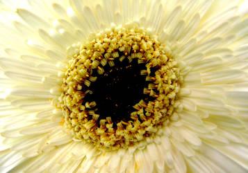 White Gerbera by MissSpocks