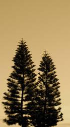 Two Pine Trees by MissSpocks