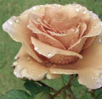 Vintage Rose by MissSpocks