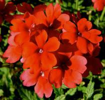 Petites Fleurs Rouges by MissSpocks