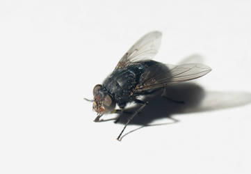 Musca domestica Linnaeus by MikeKlacy