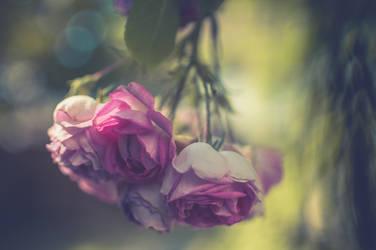 Summer Roses by 1darkstar1