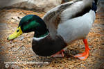 Mallard Duck by mentaldragon