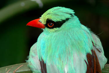 Blue-Green Magpie 2 by mentaldragon