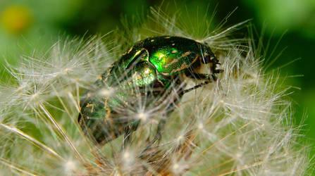 Beetle on a dandelion-1 by DragonflyAndromeda