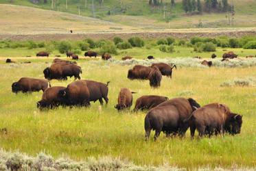 Bison Herd by BeachGirlNikita