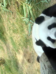 Tired Panda by naomi-p