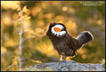 Last Light Grouse by juddpatterson