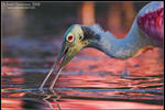 The Color of Spoonbills