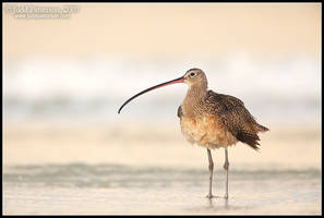 Long-billed Dawn by juddpatterson