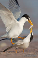 Least Tern courtship by juddpatterson