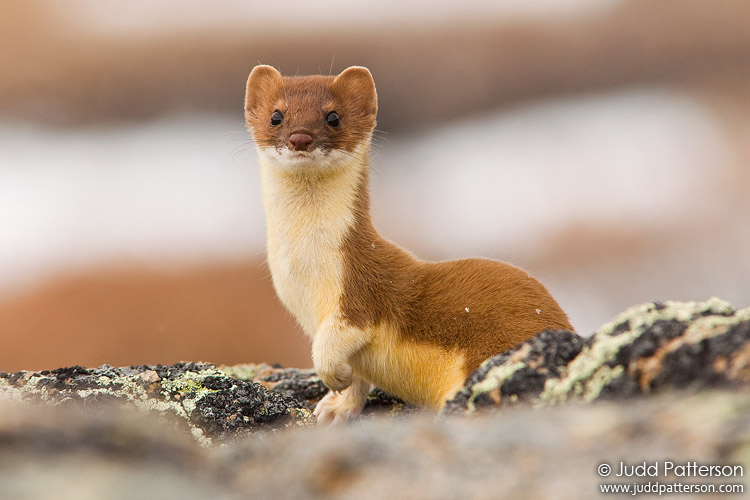 Ermine by juddpatterso...