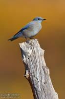Mountain Bluebird by juddpatterson