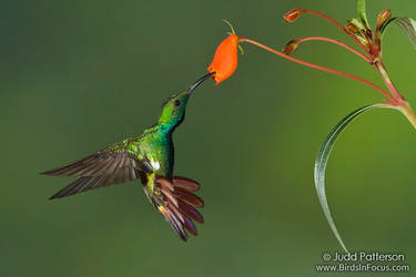 Green-breasted Mango by juddpatterson