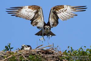 Osprey nest by juddpatterson